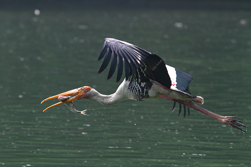 Painted Stork photo by Nitin Gera