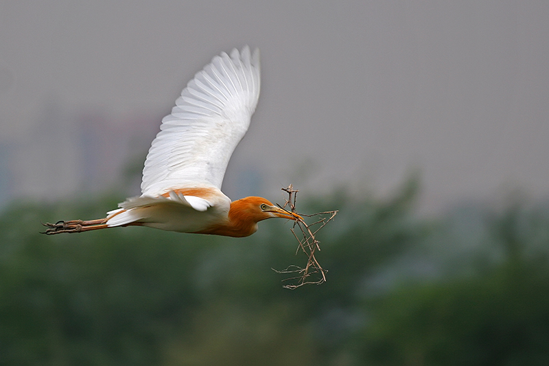 Cattle Egret photo by Nitin Gera